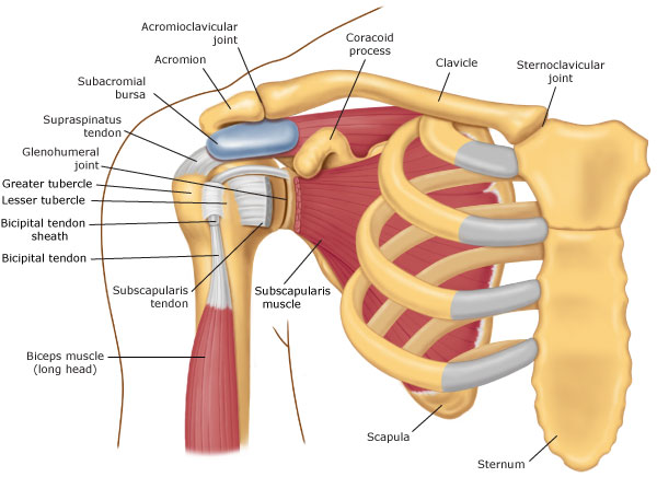 Swimmer\'s Shoulder - The Anatomy of Swimming